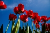 Red tulips. Roozengaarde, Mt. Vernon, WA.
