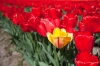 A yellow tulip in a field of red.