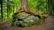 Tree on a rock, Sterling Gorge Falls, Stowe, Vermont.